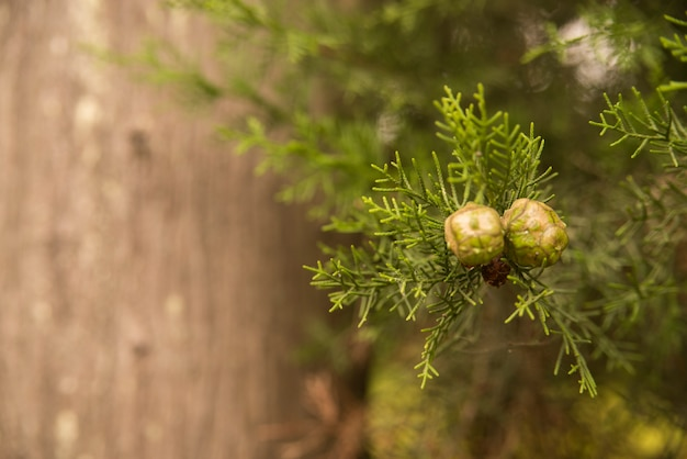 サイクロプス、種、枝、クローズアップ、マクロ 無料写真