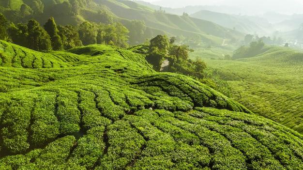 Красивый зеленый пейзаж чайной плантации в камерон хайлендс Premium Фотографии