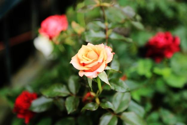 Весенняя роза цветы фон Premium Фотографии