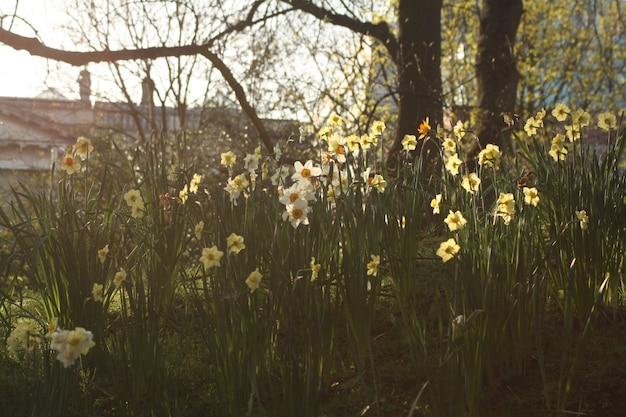 咲く水仙のある庭 無料写真