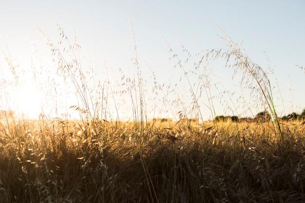 日没時の黄色の麦畑。夏 Premium写真
