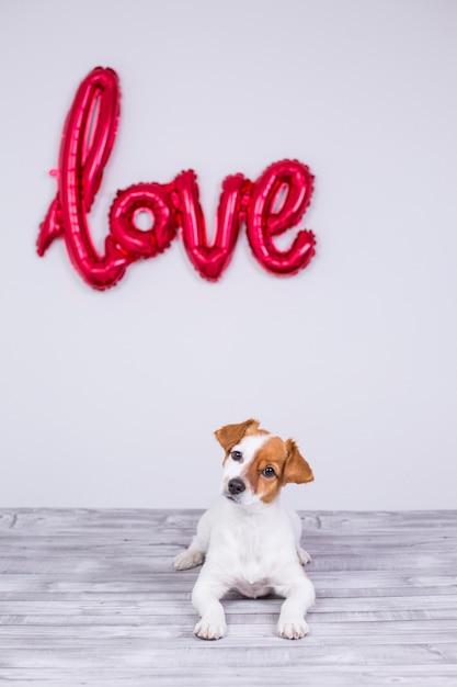 Портрет молодой красивой милой и маленькой собаки, сидящей на сером столе Premium Фотографии