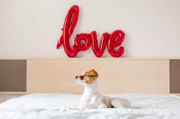 Портрет молодой красивой милой и маленькой собаки, сидя на кровати и глядя у окна дома Premium Фотографии