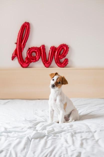 Портрет молодой красивой милой и маленькой собаки, сидя на кровати Premium Фотографии