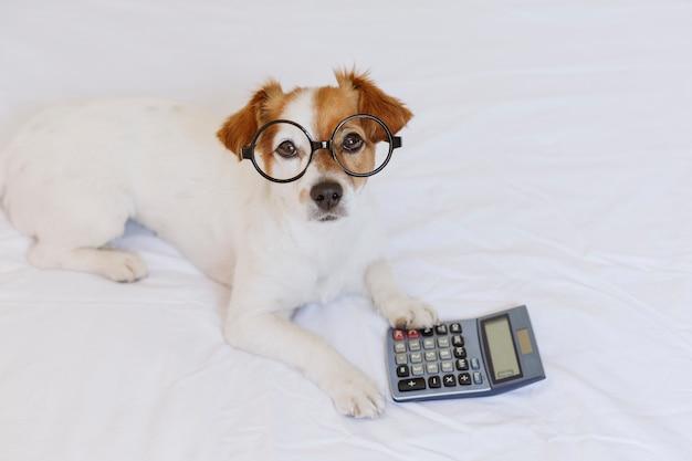 Симпатичная маленькая собака бухгалтер мышления и расчета с калькулятором на кровати Premium Фотографии