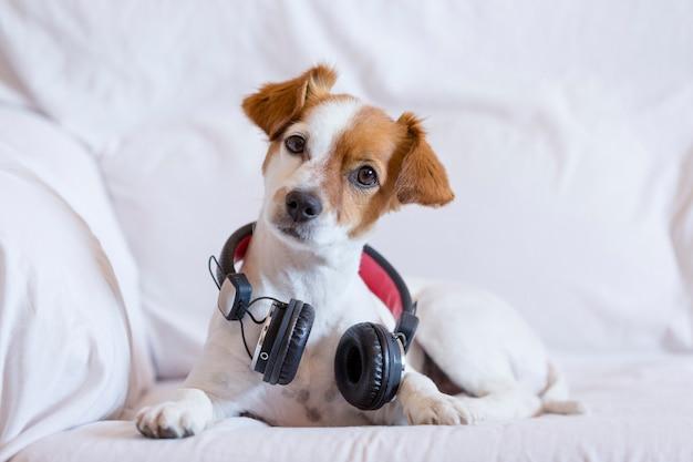 ヘッドフォンでソファーに座って聞いてかわいい若い小型犬。 Premium写真