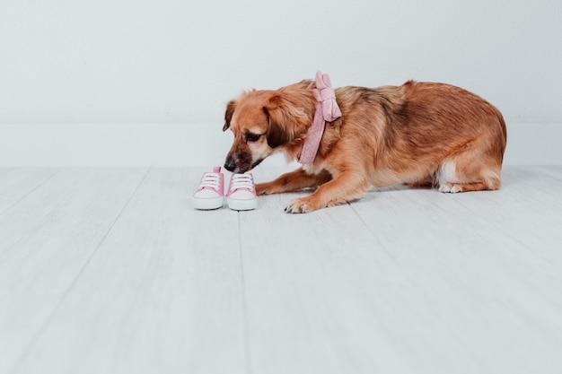Милая маленькая собака дома пахнущие крошечные розовые детские туфли. концепция семьи Premium Фотографии