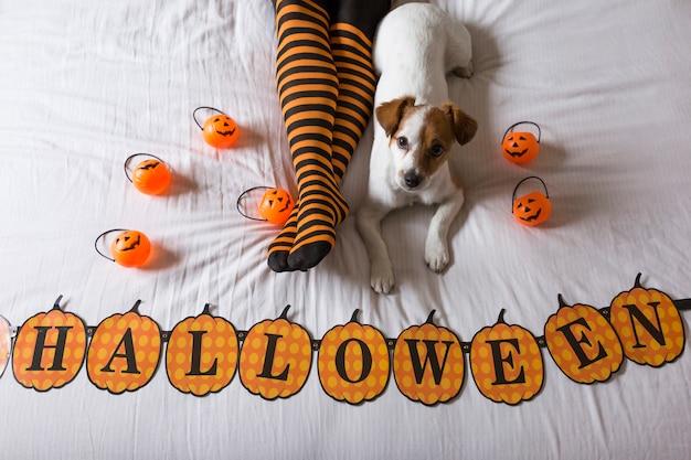 Милая молодая маленькая собака лежа на кровати рядом с его ногами владельцев нося черные и оранжевые носки. концепция хэллоуин вид сверху Premium Фотографии