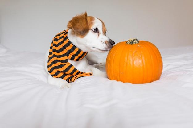 Милая молодая маленькая собака представляя на кровати нося оранжевый и черный шарф и лежа рядом с тыквой. хэллоуин концепция Premium Фотографии