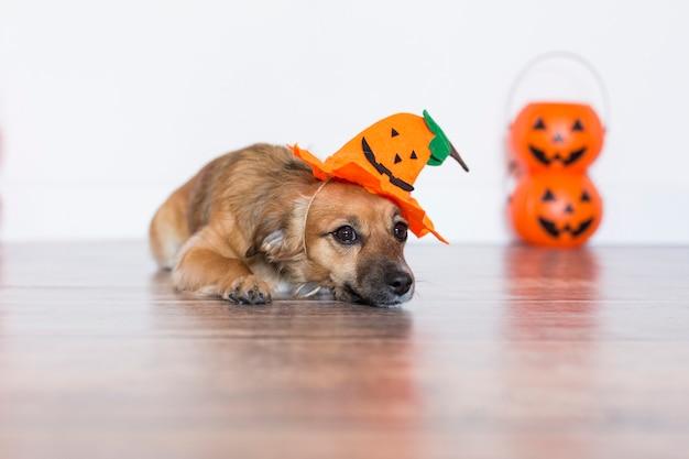 Милая маленькая собака размещения на деревянный пол с костюм тыквы. концепция хэллоуин Premium Фотографии