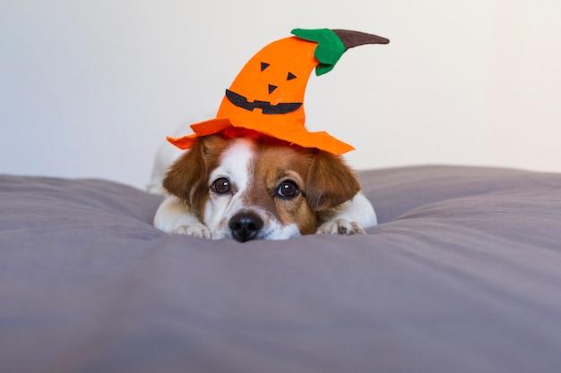 Закройте вверх по портрету милой молодой малой собаки лежа на кровати с костюмом и украшением хеллоуина. домашние животные в помещении. Premium Фотографии