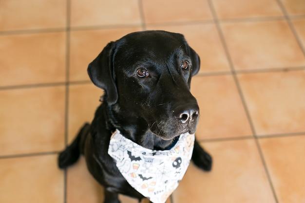 Портрет молодой милый черный лабрадор собака позирует с банданой хэллоуин Premium Фотографии