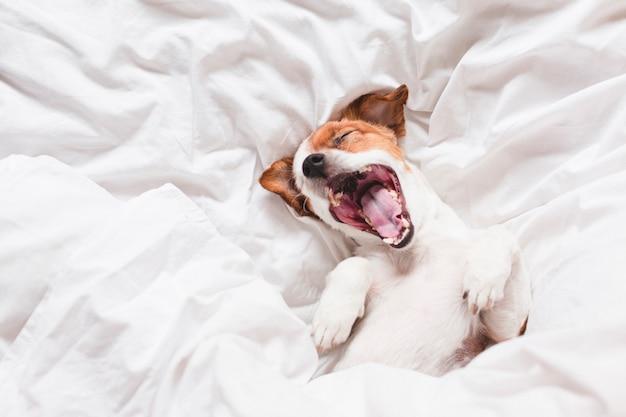 寝ているとベッドの上にあくびかわいい犬 Premium写真