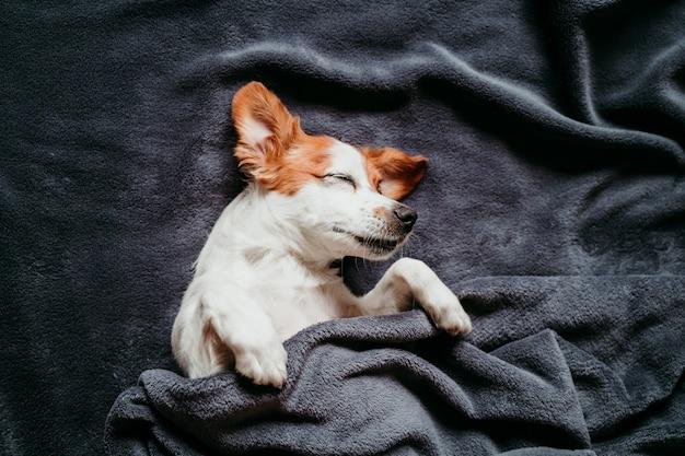 灰色の毛布で覆われたベッドの上に座っているかわいい小さなジャックラッセル犬 Premium写真