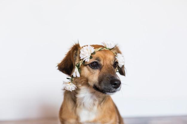 室内にバラの冠をかぶったかわいい茶色の小型犬。動物のコンセプトが大好きです。ライフスタイル Premium写真