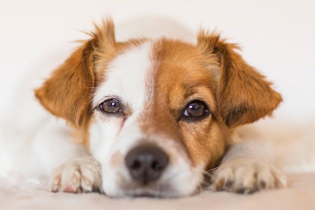 ペットを屋内でかわいい若い小型犬の肖像画を閉じます。動物のコンセプトが大好きです。 Premium写真