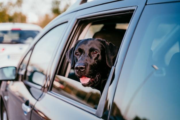 Красивый черный лабрадор в машине готов путешествовать. городской фон. смотря у окна на закате. концепция путешествия Premium Фотографии