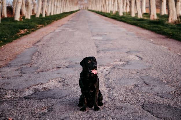 Красивый черный лабрадор сидит на дороге на закате стоп отказаться от концепции Premium Фотографии