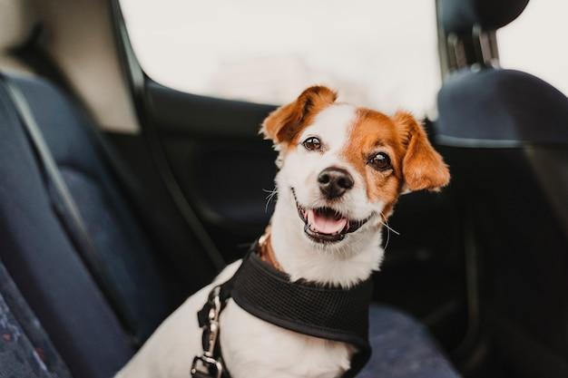 安全なハーネスとシートベルトを身に着けている車の中でかわいい小さなジャックラッセル犬 Premium写真