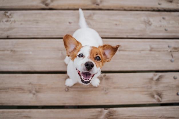 屋外の木製の橋の上に座ってかわいい小さなジャックラッセルテリア犬のトップビューとライフスタイル Premium写真