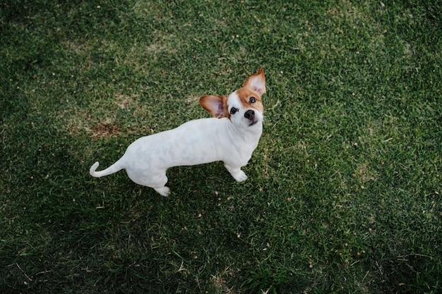 公園の芝生の上に座っているかわいい小さなジャックラッセルテリア犬。屋外でのペットとライフスタイル Premium写真