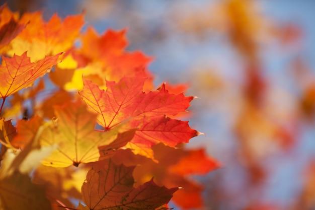 青い空を背景にメープルの明るい紅葉 Premium写真