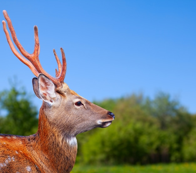 シカ鹿の頭 無料写真