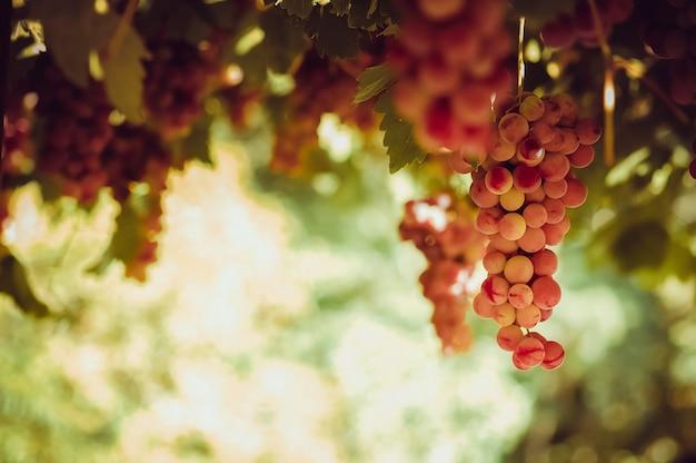 太陽の光の中でブドウからぶら下がっている赤いブドウの束 無料写真