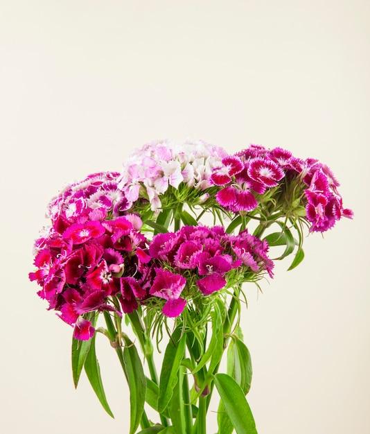 紫色の甘いウィリアムまたは白い背景で隔離されたトルコのカーネーションの花の側面図 無料写真