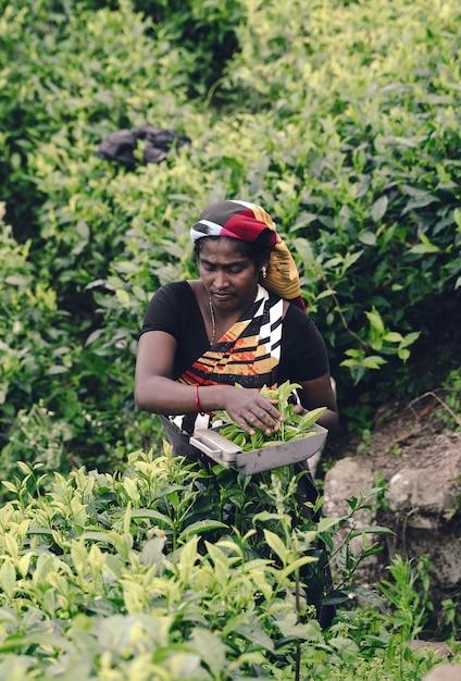 Чайник собирает чайные листья на плантации Premium Фотографии