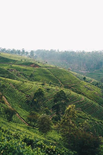 Утренний свет на чайной плантации в шри-ланке Premium Фотографии