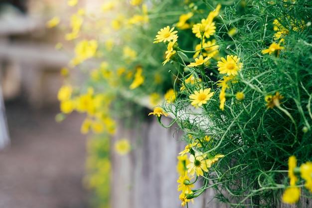 Желтая маргаритка цветет предпосылка с винтажным влиянием тона. Premium Фотографии