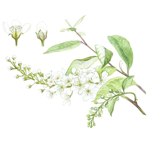鳥桜の木の花の水彩画のイラスト。花と花のカード。植物イラスト。 Premium写真