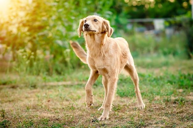 嬉しそうにやってくる軽い毛皮の犬 Premium写真