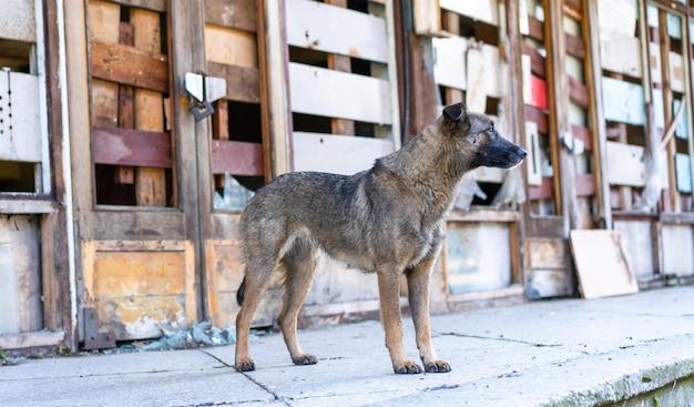 放棄された建物の近くのホームレスの犬 Premium写真