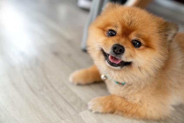 カメラを見て笑って愛らしいポメラニアン犬 Premium写真