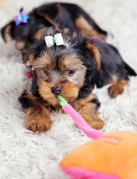 Маленький милый щенок дома Бесплатные Фотографии