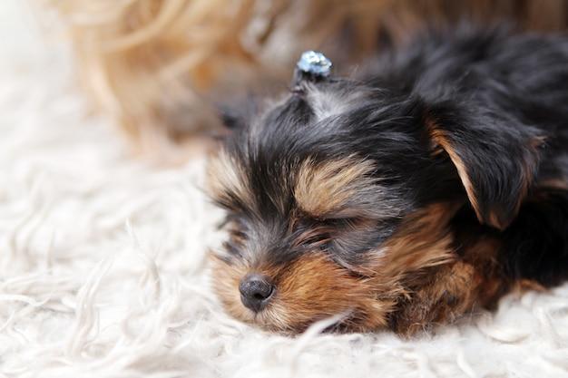 自宅で小さなかわいい子犬 無料写真