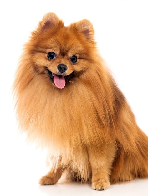 かわいいスピッツ犬 無料写真