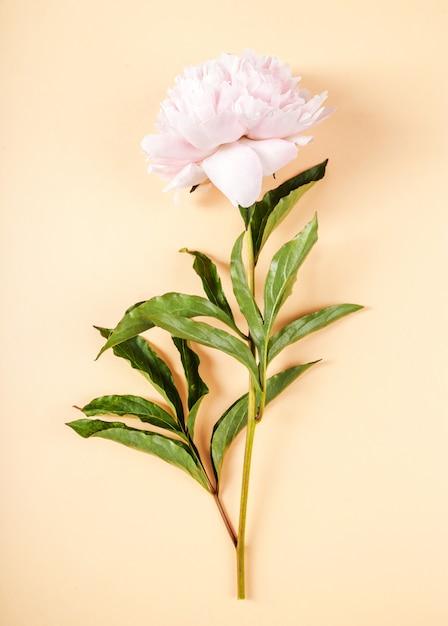 新鮮な美しい牡丹の花 無料写真