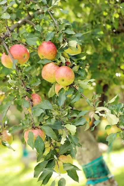 木の上のリンゴ 無料写真