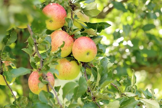 Яблоки на дереве Бесплатные Фотографии