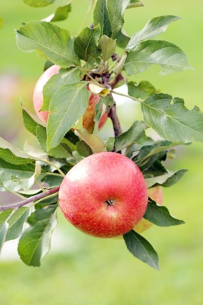 りんごの木 無料写真