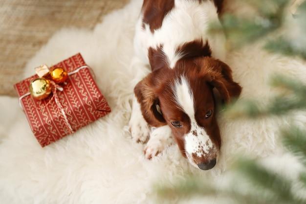 Милая маленькая собака рядом с рождественским подарком Бесплатные Фотографии