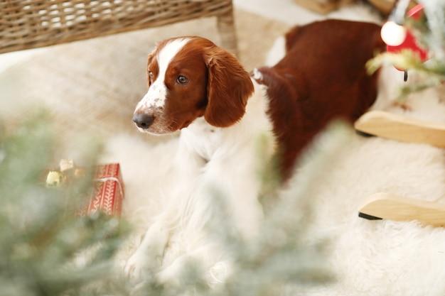Милая маленькая собака на украшенной рождеством гостиной Бесплатные Фотографии