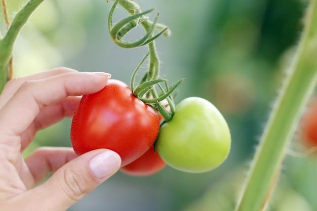 赤と緑のトマト 無料写真