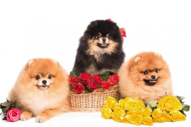 花のバスケットのスピッツ犬 Premium写真