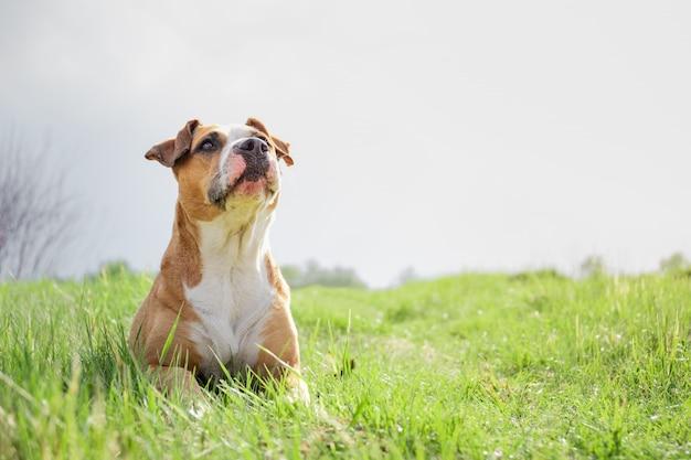 春のフィールドで面白い犬。 Premium写真