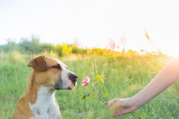 人間はかわいい子犬に野バラを屋外に与えます Premium写真