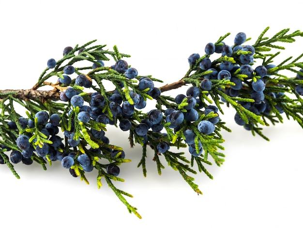 Вечнозеленая ветвь можжевельника с ягодами на белом столе Premium Фотографии